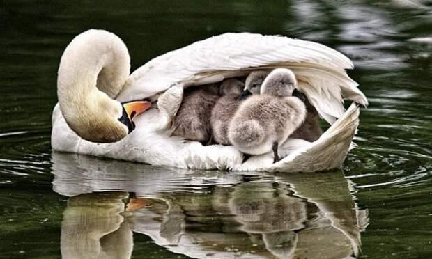 Птенец лебедя: как называют, описание и фото птицы, когда выводят ...