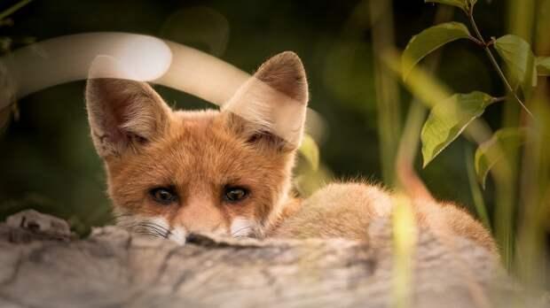 Из-за мёртвой лисы на набережной Коктебеля объявили карантин