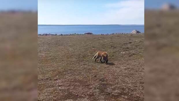 Лиса из Приморска вывела детенышей погреться на весеннем солнце и попала на видео