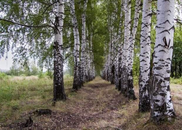 Эти деревья помогут очистить выгребную яму на даче