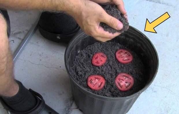 Два простых способа, как вырастить томаты прямо на балконе!!!