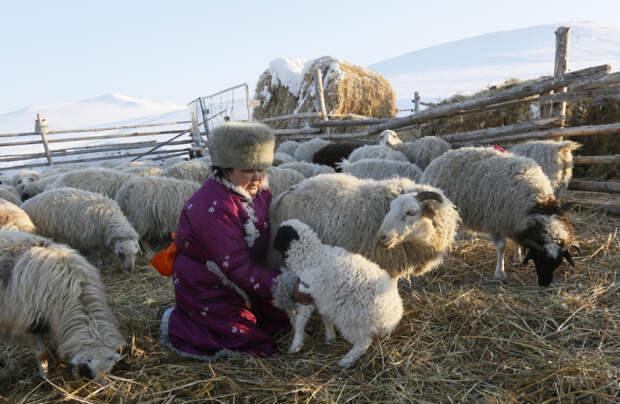 Женщина в загоне с овцами.