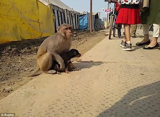 """Моя хвостатая мама: в Индии обезьяна """"усыновила"""" бездомного щенка"""