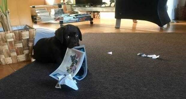 Конечно, я помогу вам найти преступника! животные, натворили, сама невинность, смешно, собаки, хулиганство, честные глаза, юмор