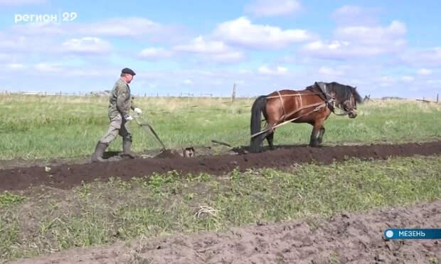 В Мезени осталось только двое пахарей-лошадников. Кто будет кормить область?