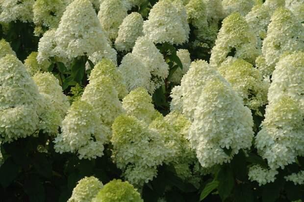 растение-кустарник семейства Гортензиевые
