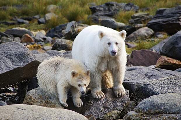 Медведь Кермода: Лесные призраки из Канады. Почему целая популяция чёрных медведей стала белоснежной?