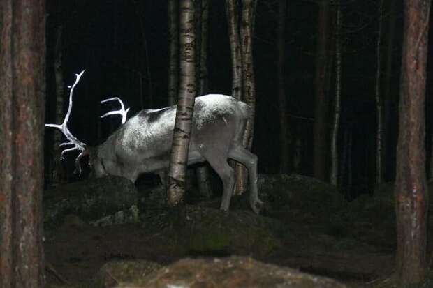 Гениальная идея от Финской Ассоциации оленеводов, чтобы предотвратить автомобильные аварии