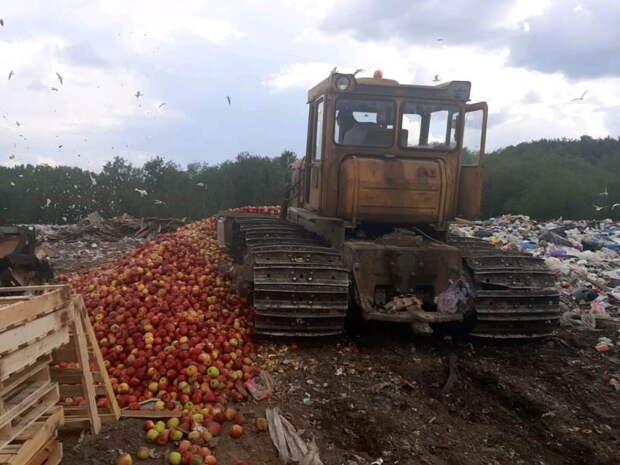 В Псковской области бульдозером раздавили 13 тонн яблок из Белоруссии