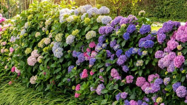 Цветущие живые изгороди: самые эффектные растения