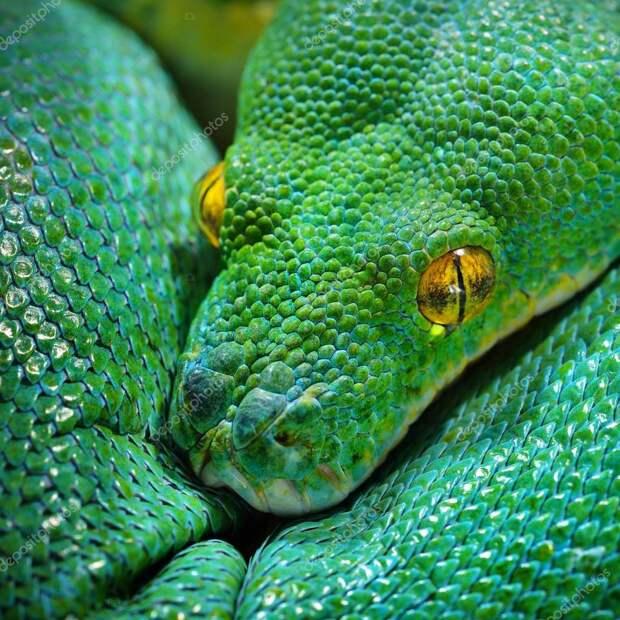 Зеленый питон (лат. Morelia viridis) 10