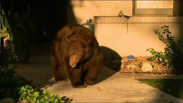 Большая медведица прогулялась по улицам Лос-Анджелеса