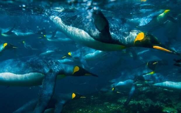 Пингвины - птицы, которые очень глубоко ныряют