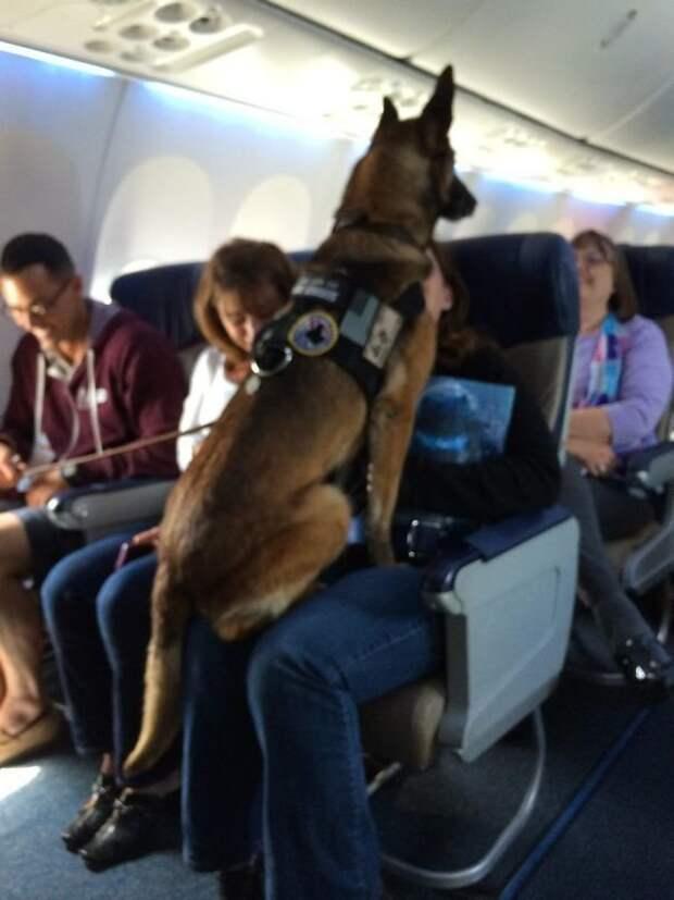 Капрал Кидди 12 лет прослужила в морской пехоте, вышла на пенсию и теперь летит на заслуженный отдых. Весь самолет приветствовал ее аплодисментами животные, забавно, летайте самолетами, мило, пассажиры, самолет, собаки, хвостатые пассажиры