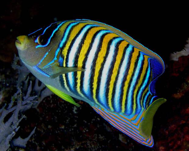 Рыба-ангел животные, красота, океан