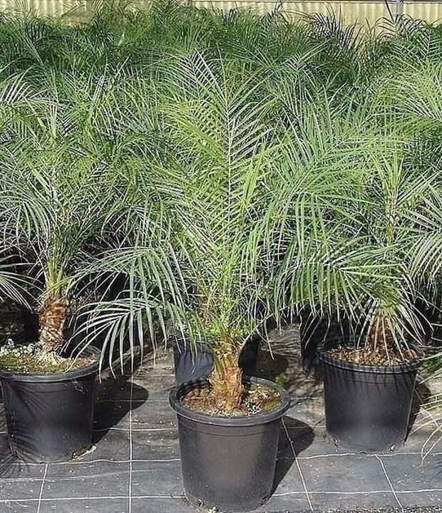 Как вырастить финиковую пальму из семечки?