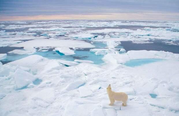 Белый медведь обитает в тундре