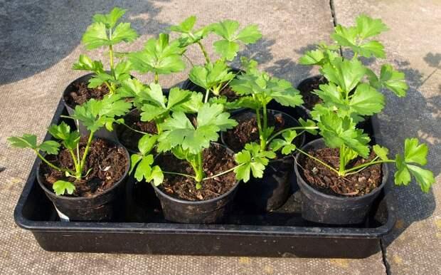 Картинки по запросу сельдерей выращивание из семян