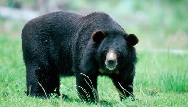 Гималайский медведь живет оседло