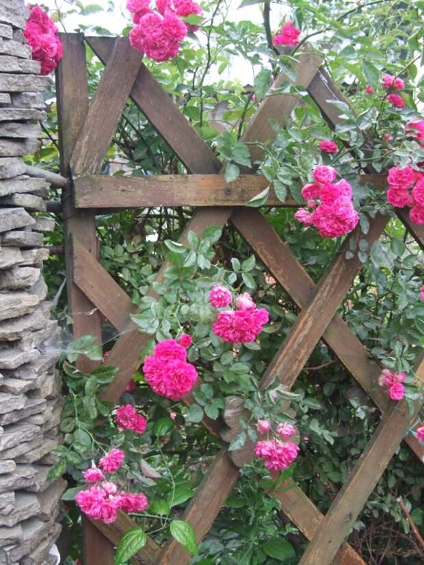 Плетистая роза на шпалере.