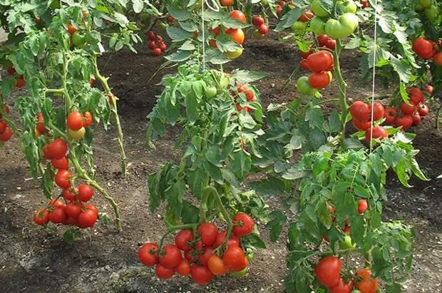 Сладкие помидоры. Какие сорта считаются самыми вкусными?