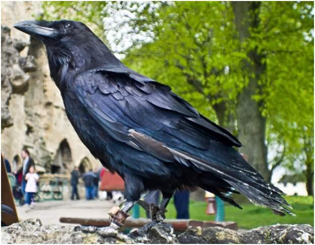 Коля. История о том, как черный ворон спас жизнь своему хозяину