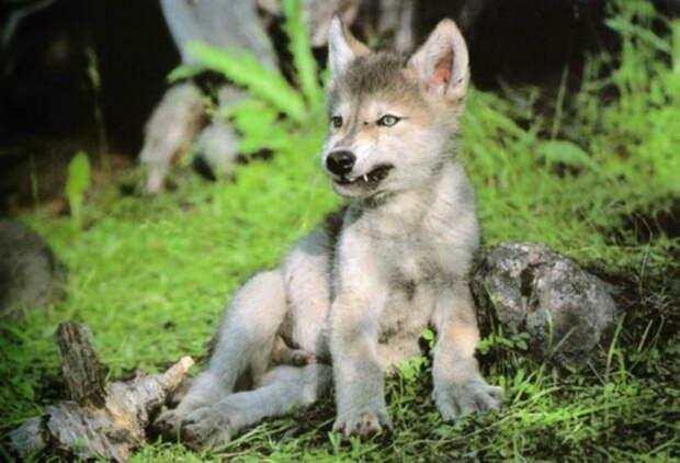 Овдовевший волк сам заботится о пятерых волчатах после того, как погибла волчица