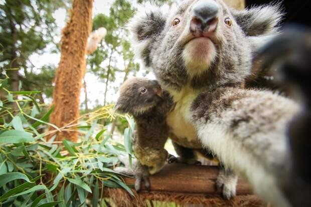 8 фото супермилых коал, которые спят 20 часов в сутки