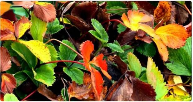 Какие листья клубники я обязательно отрезаю, а какие оставляю сейчас (для развития и урожая)