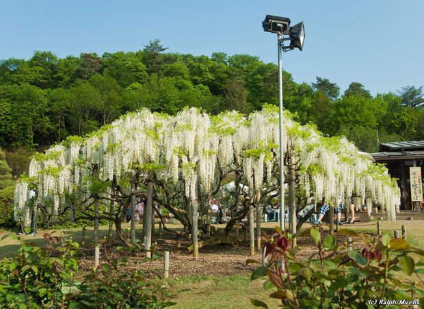 Завораживающее зрелище: цветочный дождь в парке Асикага