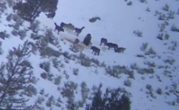 Волчья стая окружила медведя, чтобы отобрать добычу