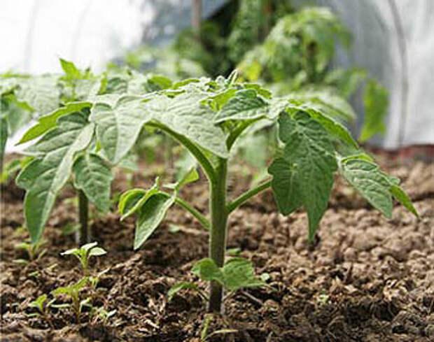 Энциклопедия технологий: тайны выращивания помидор