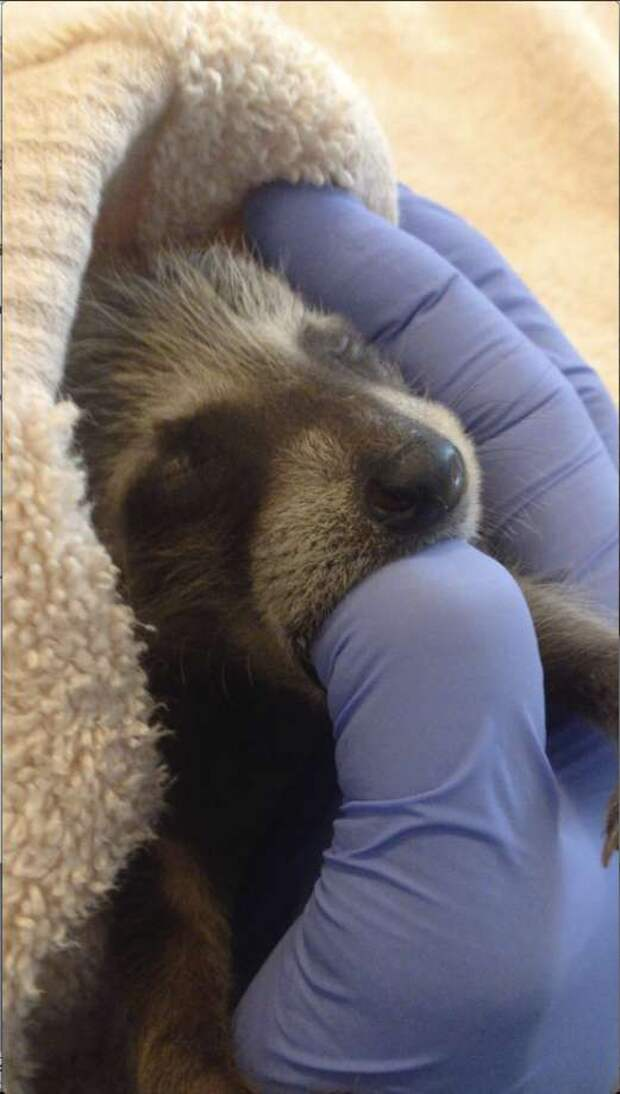 In this photo taken on Sept. 5, 2016, and provided by WildCare, a baby raccoon that inadvertently hitched a ride from Florida to Marin County in Northern California is nursed back to health at WildCare in San Rafael, Calif. The raccoons are now recovering at the Oakland Zoo. Animal care authorities said Tuesday, Jan. 17, 2017, that in September a man had unknowingly transported the raccoons from Florida to Marin County in a moving truck. (Marie-Noelle Marquis/WildCare via AP) Photo: Marie-Noelle Marquis, AP / WildCare