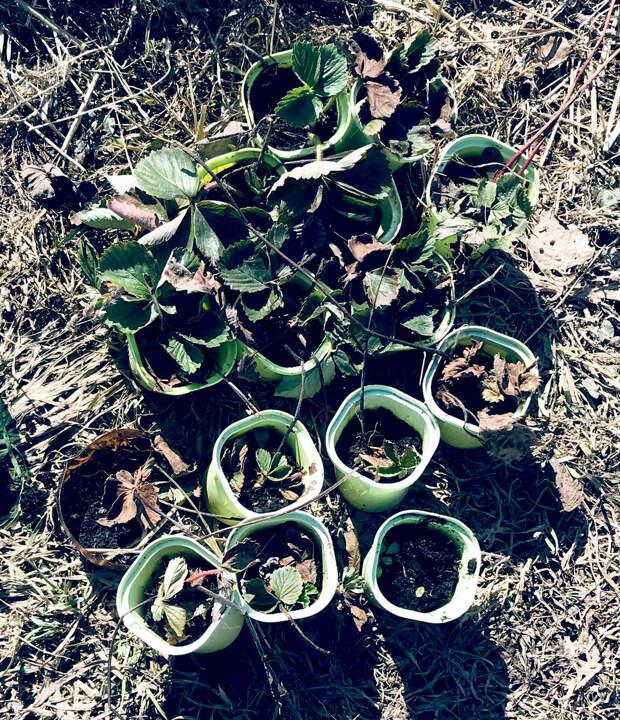 Обработка клубники весной