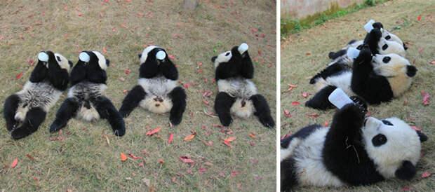 Вот почему детеныши панд - самые ценные животные на Земле