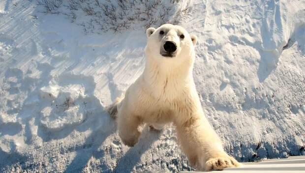 Белый медведь выглядит огромным