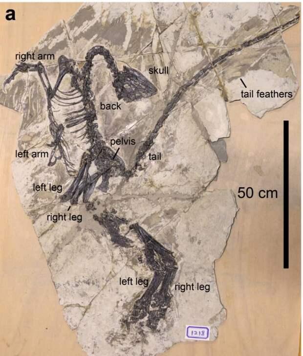 В Китае найдены останки покрытого перьями динозавра