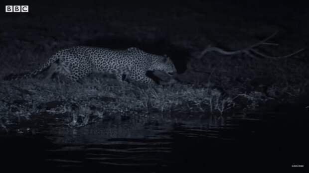 Видео: Семья леопардов учится ловить рыбу ночью