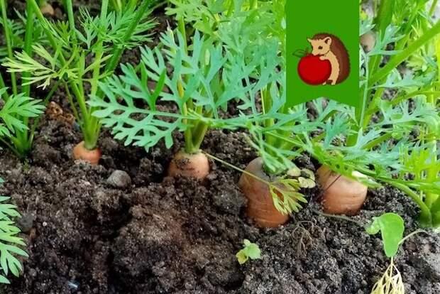 Чем полить морковь в августе, чтобы корнеплоды стали слаще