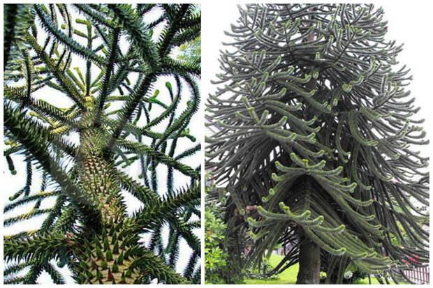 Араукария чилийская деревья, невероятное, природа, удивительное, флора