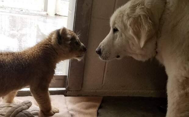 В зоопарке Айдахо нянькой для львенка стала собака
