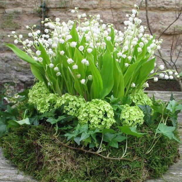 Многолетний садовый цветок Ландыш (Convallaria)