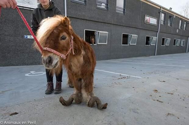 Пони с копытами, как бараний рог, и его друг — спасены!!!! Есть радостные новости :)