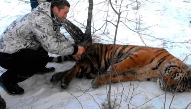 Тигр не мог избавиться от петли на шее и пришел за помощью к людям