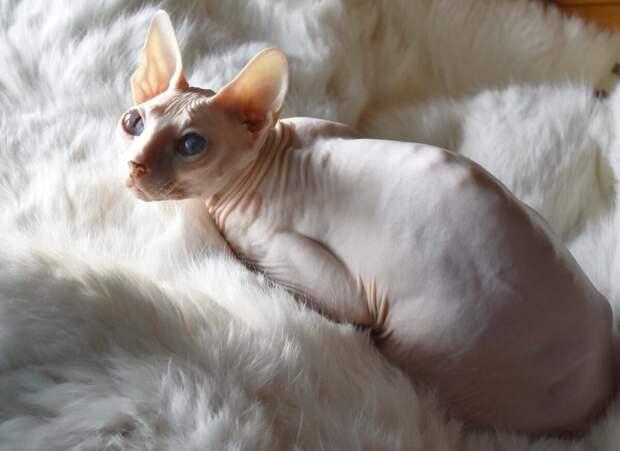 Кошку породы сфинкс выбросили в подвал, потому что злая и противная