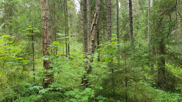 В лесу острова Валаам