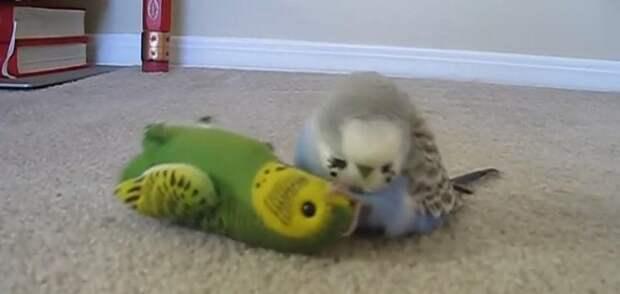 Попугай пытается оживить игрушку