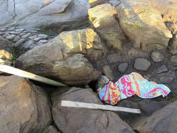 Застрял, маленький! Люди заметили, что тюлень на камнях не двигается и забили тревогу