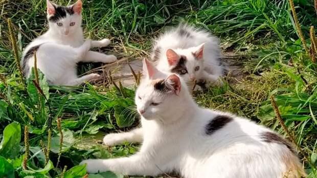 Валаамские коты