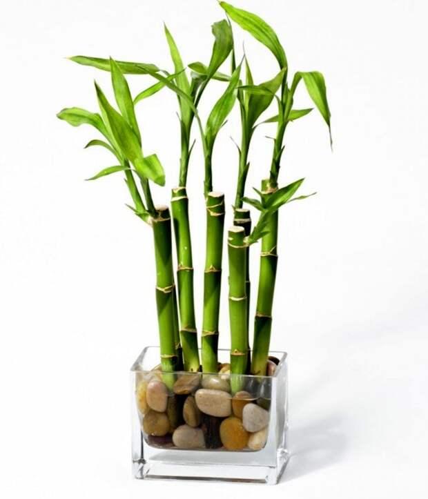 Размножение комнатного бамбука